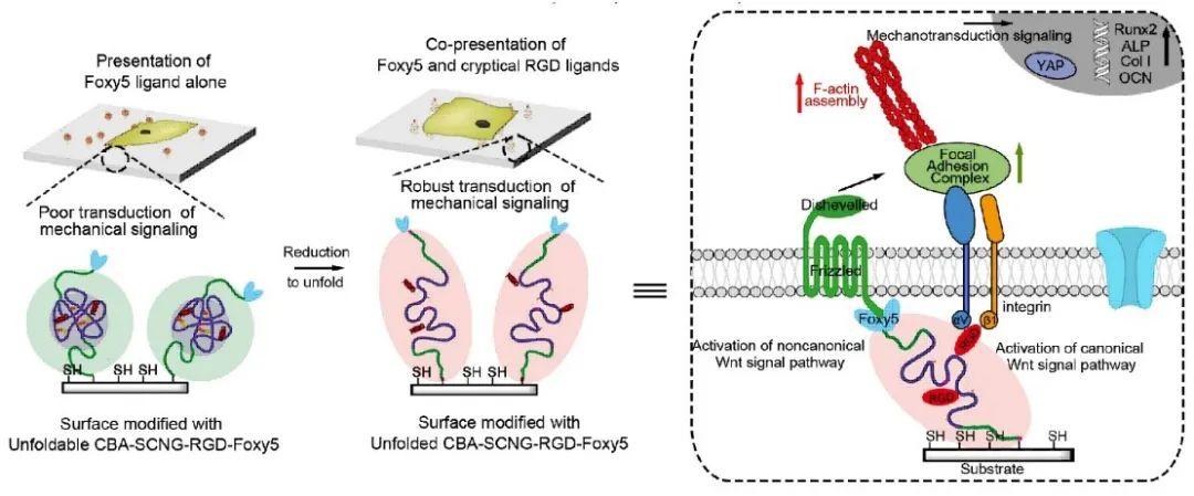 仿生双配体单链高分子纳米凝胶协同调控干细胞行为与分化