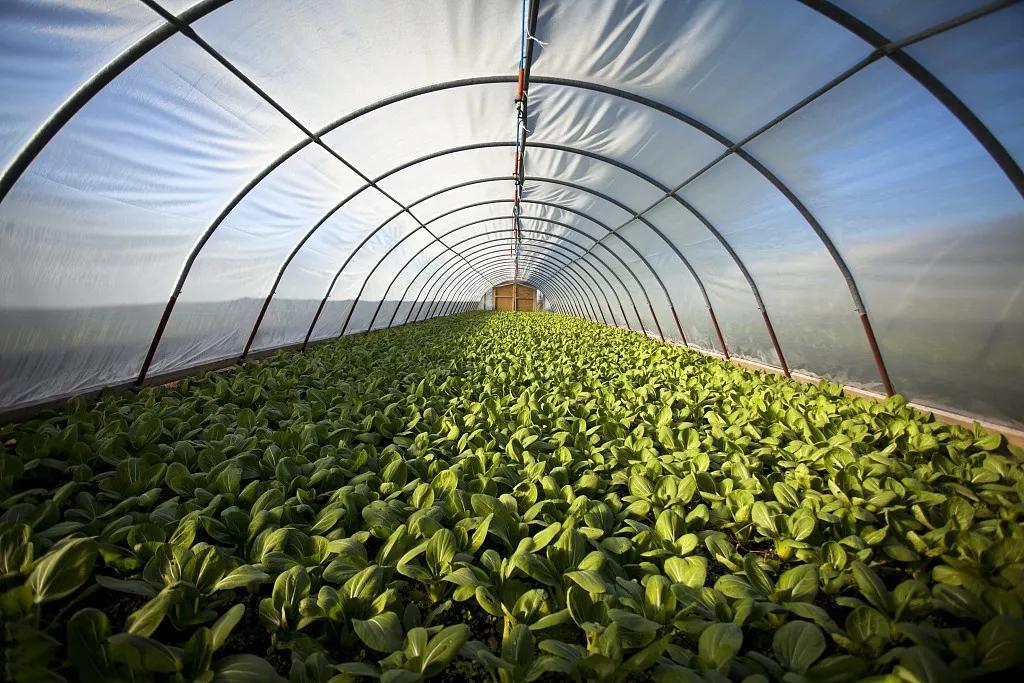 一畝地的常規蔬菜大棚種植成本及種植利潤分析