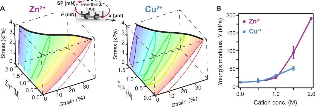 蛋白质水凝胶的形状编程和形变方法新突破!