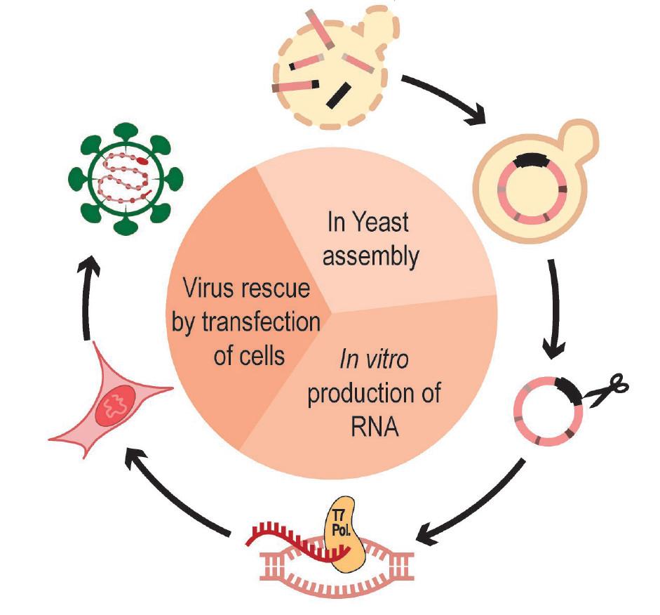 瑞士学者人工合成出新冠病毒,能在一周之内生产或改造出大量活病毒