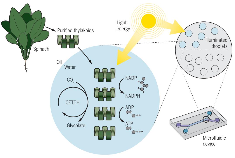 人造叶绿体!比自然界的光合作用更高效