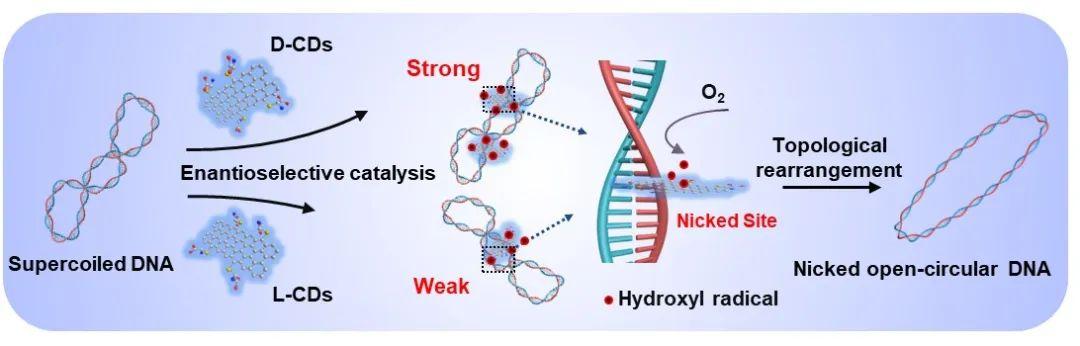 天津大学仰大勇课题组《德国应化》:手性碳量子点模拟拓扑异构酶I调控超螺旋DNA拓扑结构