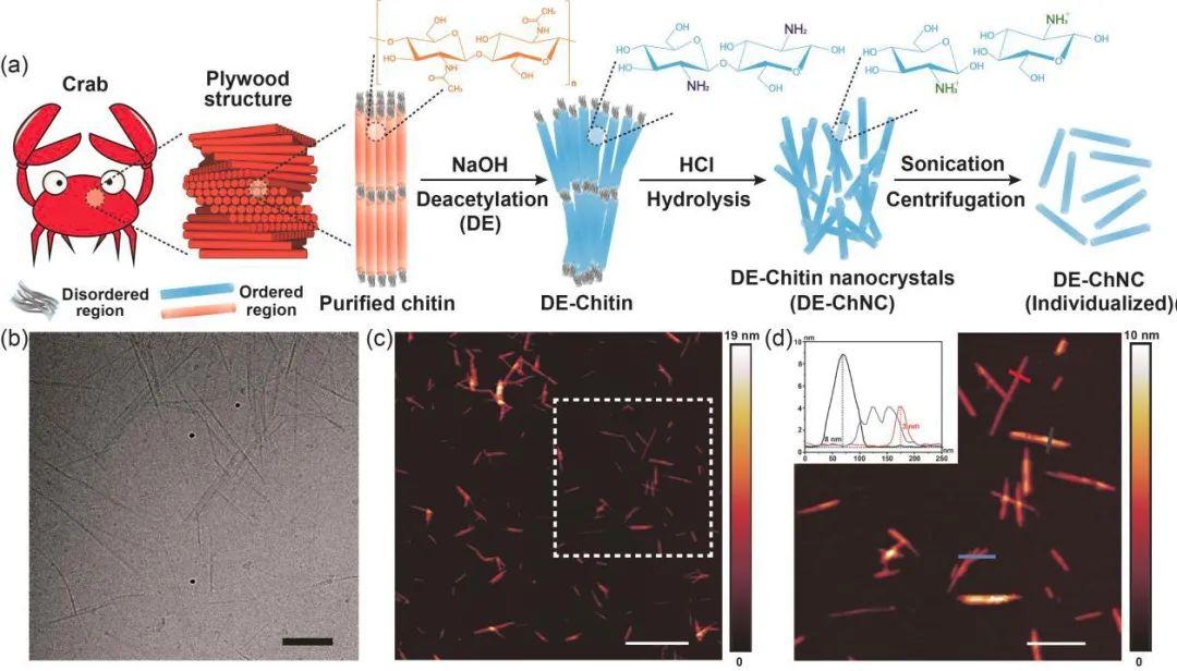 《ACS Nano》:低溫電子斷層掃描解析納米甲殼素手性結構