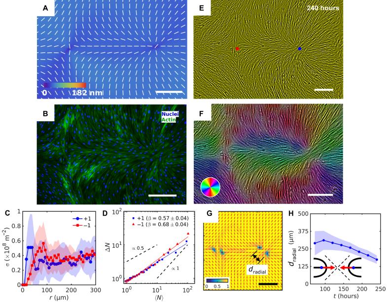 《Science》子刊:液晶彈性體控制單層成纖維細胞的拓撲結構