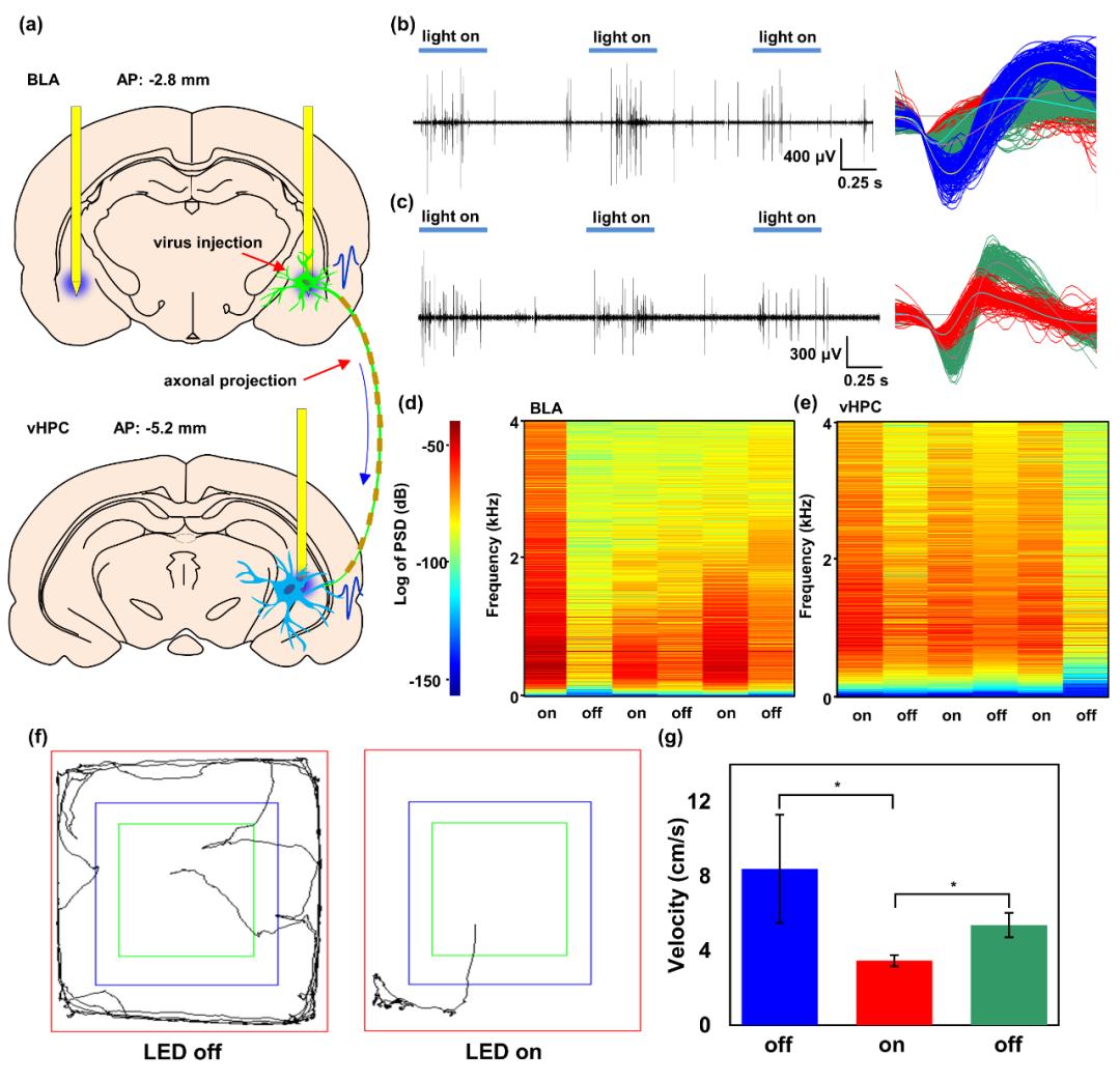 """天津大学黄显团队《AFM》:""""八爪鱼""""——用于多脑区光电刺激和生理检测的多通道植入式柔性电子器件"""