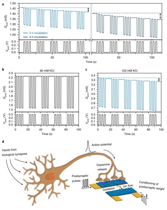"""导电高分子打破生物与电子的界限!《Nat.Mater.》:基于PEDOT实现人工突触神经递质介导的可塑性"""""""
