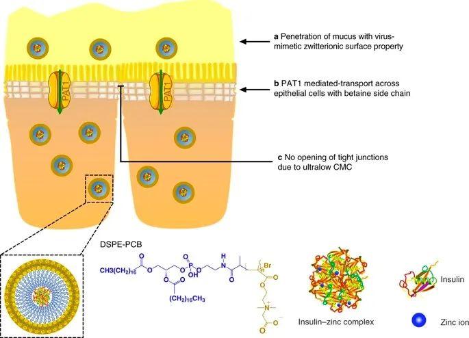 美國韋恩州立大學曹智強《Nat.Nanotech.》:高效口服胰島素問世,兩性膠束遞送胰島素無需打開緊密連接