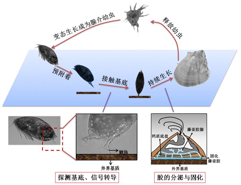 国防科技大学胡碧茹教授课题组:海洋强势污损生物—藤壶附着机制研究进展