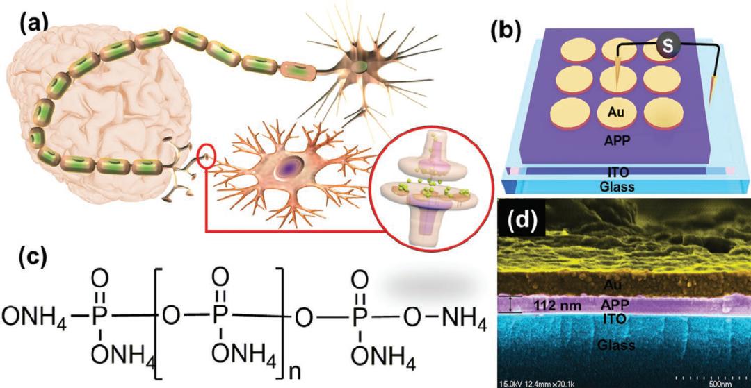苏大路建美、贺竞辉《AFM》:火烧、辐射都不怕,全无机离子聚合物忆阻器实现高性能柔性人工突触