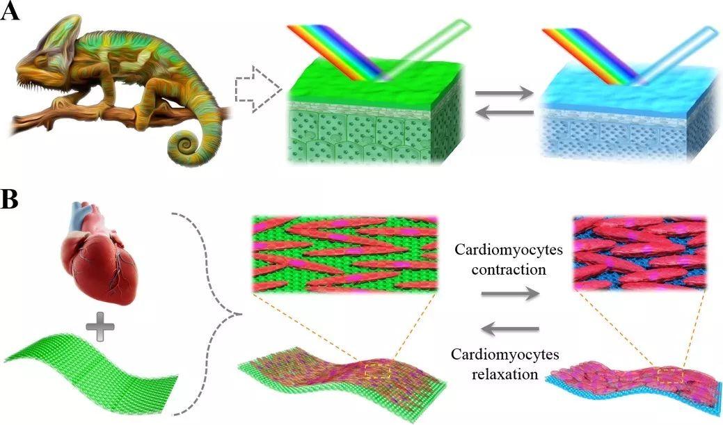 """东南大学赵远锦教授Science Robotics: 活性结构色材料构建的""""心脏芯片"""""""