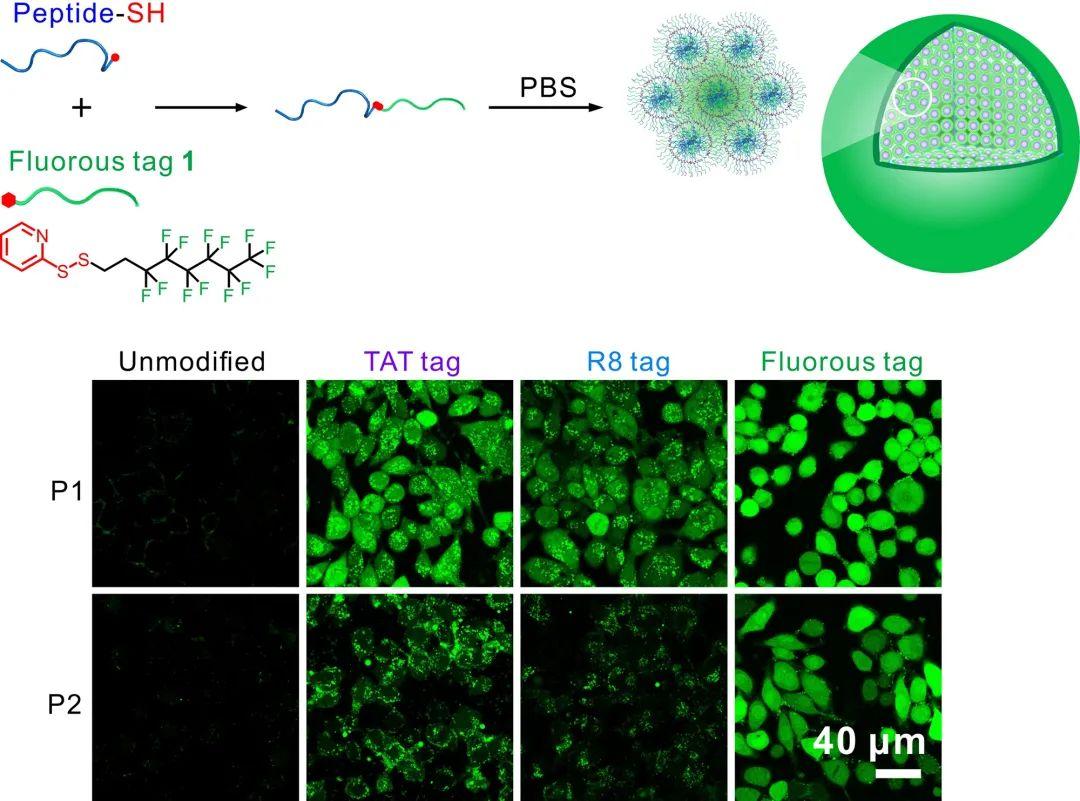 华东师大程义云团队《Sci.Adv.》:开发出多肽胞内递送新技术