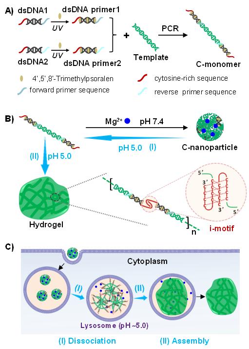 天津大学仰大勇课题组《德国应化》:通过DNA动态组装在细胞内构建类细胞器结构