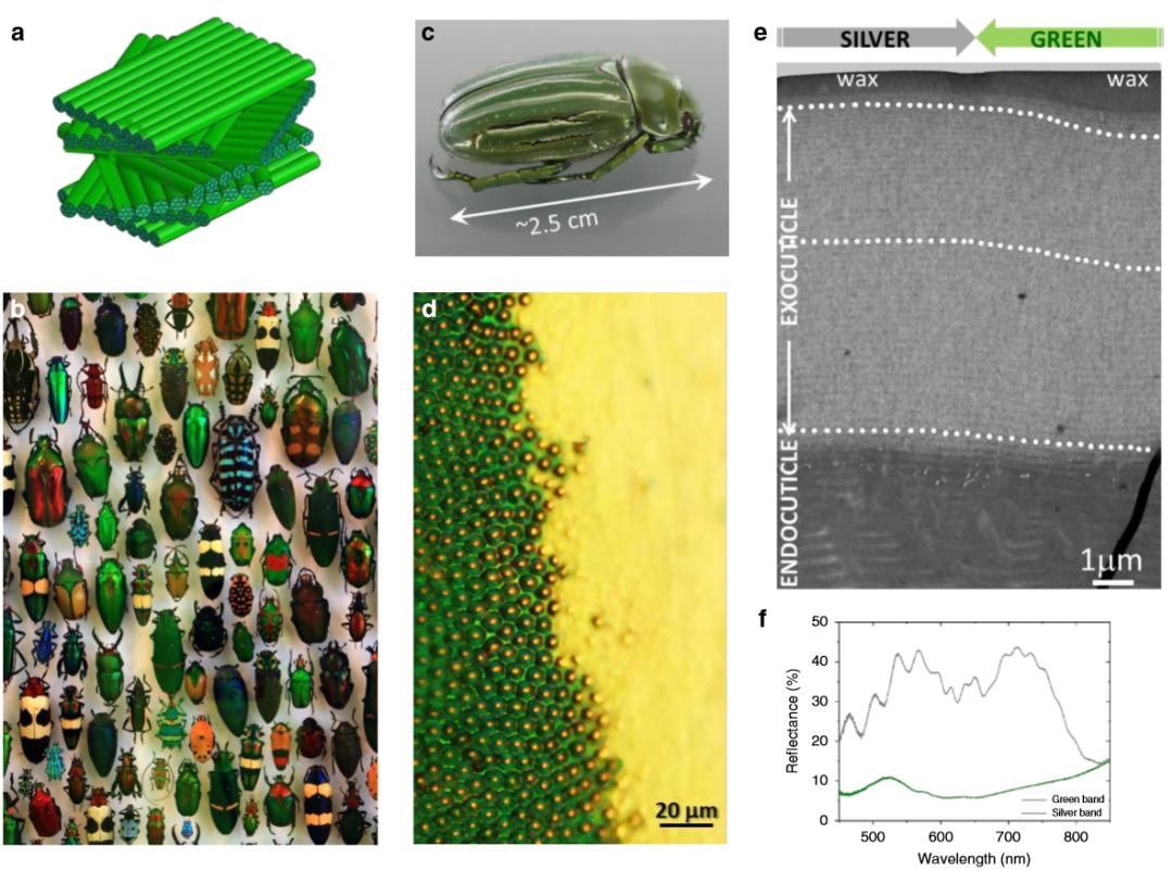 《Nature》子刊:仿昆虫表皮的胆甾型图案设计用于密码学标签!