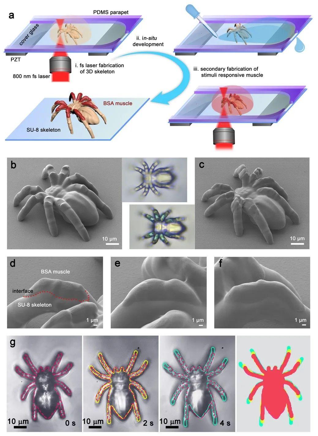 清华大学孙洪波、吉林大学张永来《自然·通讯》:飞秒激光仿生制造人工肌肉骨骼系统