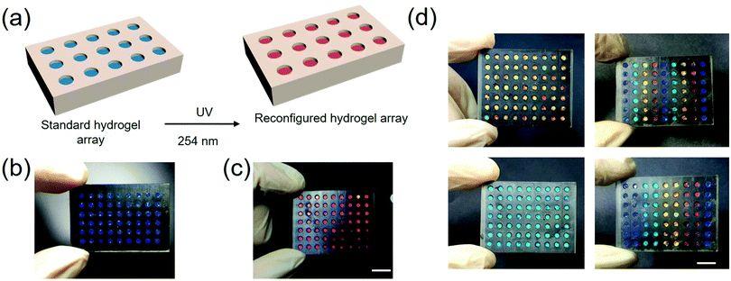 东南大学顾忠泽团队《Mater. Horiz.》:光响应性光子水凝胶使原位操作和细胞支架刚度监测成为可能