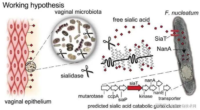 最新研究:口腔细菌在会破坏阴道微生物组的平衡