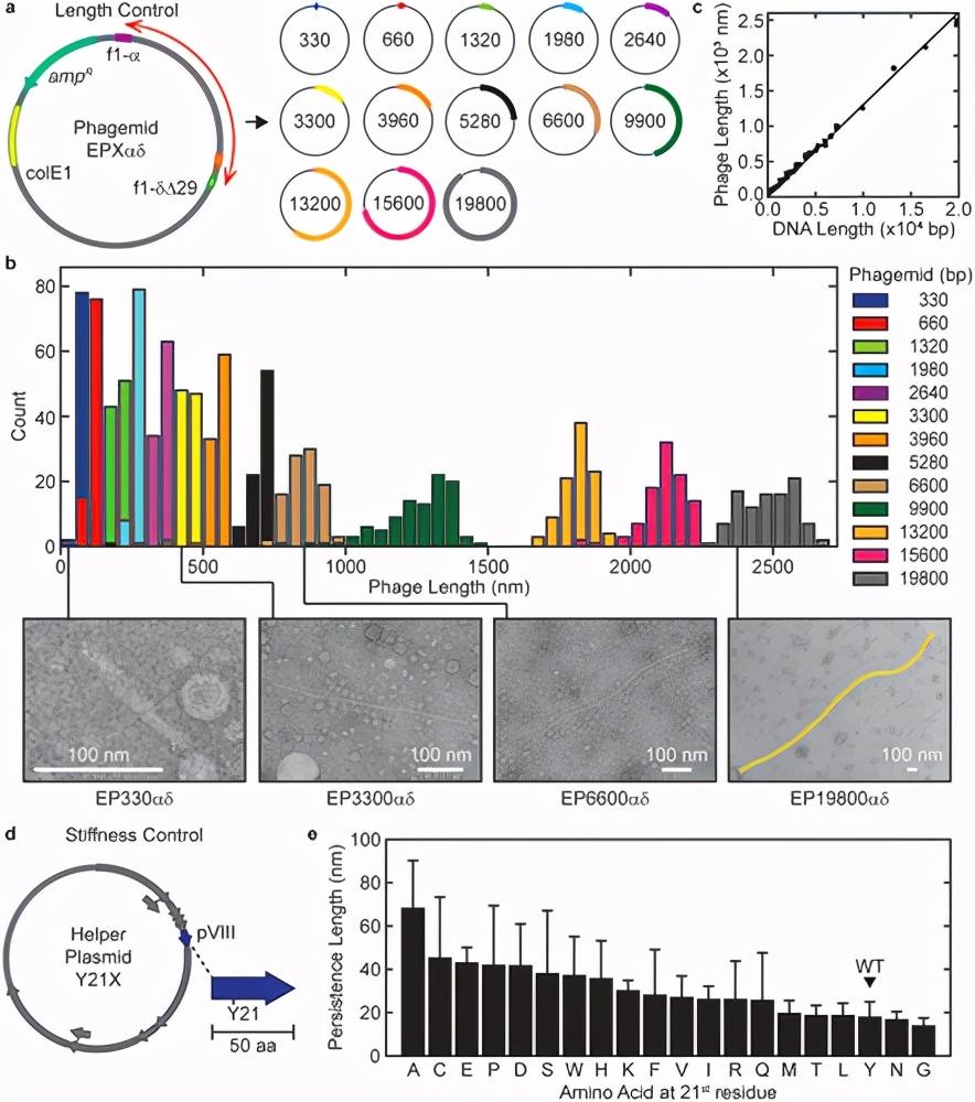 噬菌体长度和硬度的遗传控制