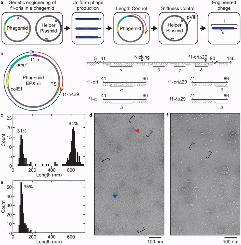 噬菌粒工程生成均匀噬菌体